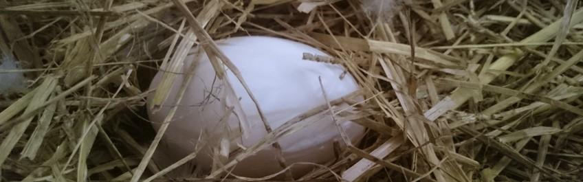 Hauhalan hanhifarmi - Hanhenmuna