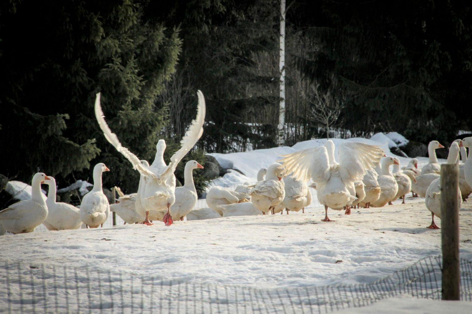 Hauhalan hanhifarmi - Hanhet talvella