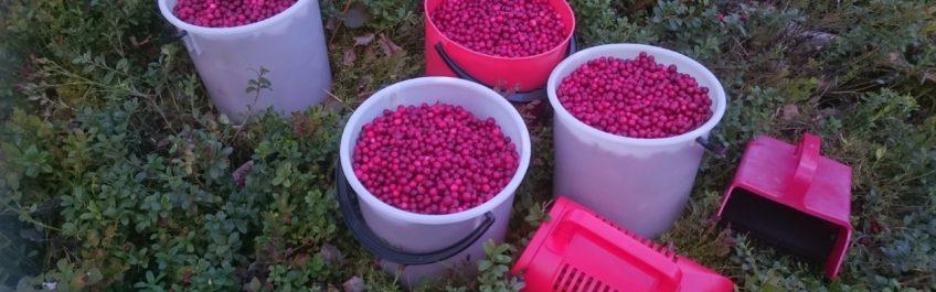 Hauhalan hanhifarmi - Raaka-ainetta puolukkapateeseen